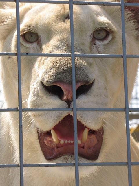 animal, lion, lioness, cage, zoo, circus, tooth