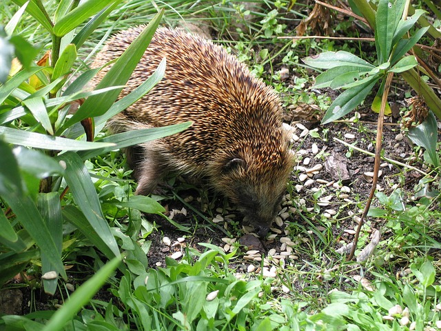 animal world, nature, hedgehog, garden, spur