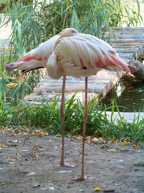 animals, zoo, flamingo, pink flamingo, bird