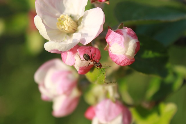 ant, apple, blossom, climbing, flower, insects, spring