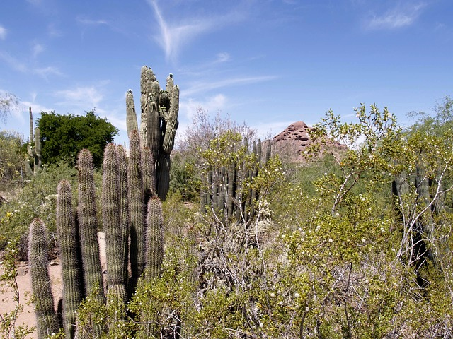 arizona, desert, cactus, plants, hot, dry, landscape
