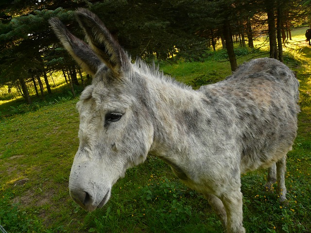 ass, domestic donkey, curious, funny