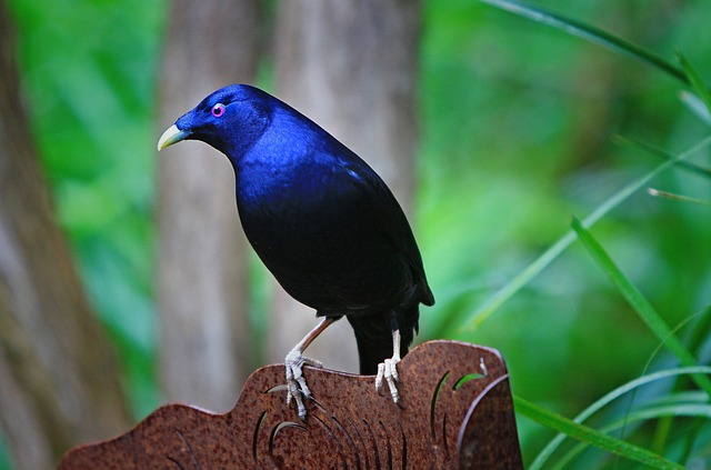 australia, satin bower bird, bird, blue