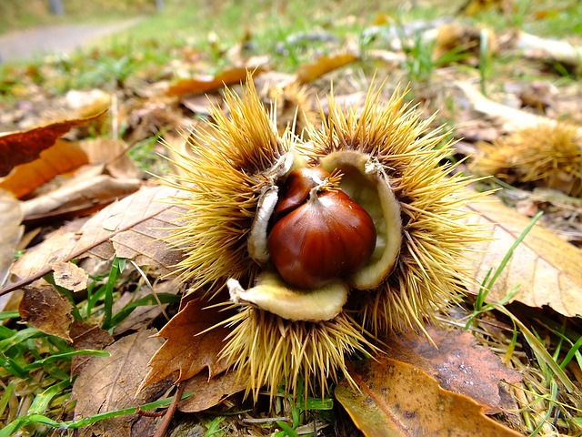 autumn, chestnut, chestnut forest, spur, october