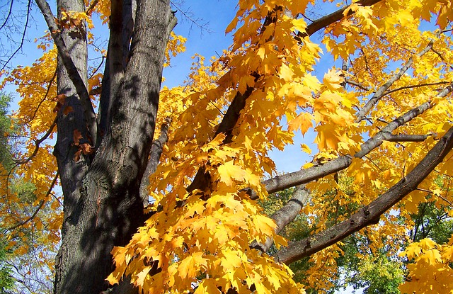 autumn, fall, maple, tree, leaves, yellow