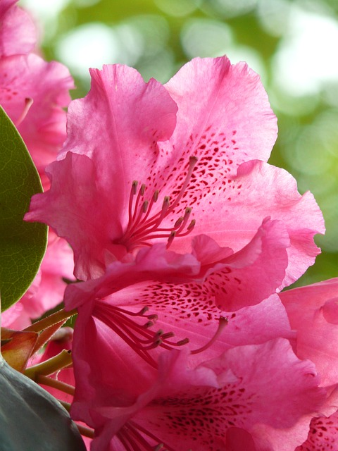 azalea, rhododendron, flowers, bloom, colorful, bright