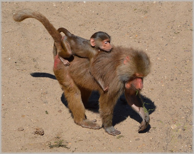 baboon, baboons, zoo, series, monkey, monkeys, holland
