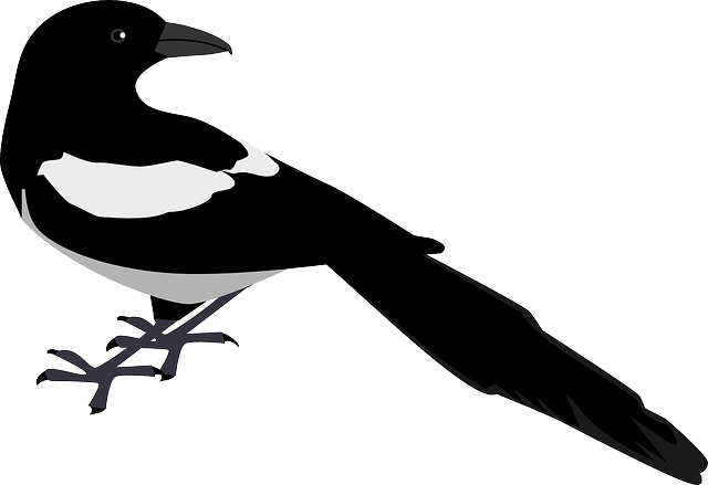 back, bird, looking, magpie, sight, stare, feathers