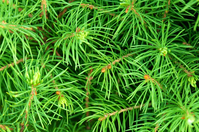 background, branch, branches, coniferous, evergreen