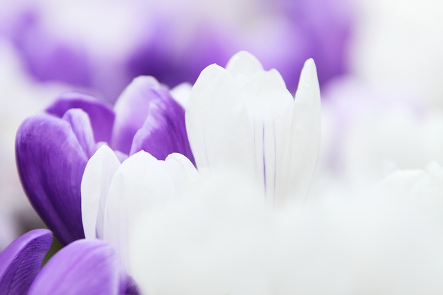 background, crocus, flower, garden, macro, nature