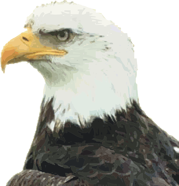 bald eagle, eagle, bird of jove, bird of prey, raptor
