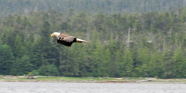 bald, eagle, flight, gliding