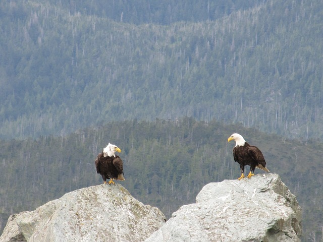 bald, eagle, stare, rocks