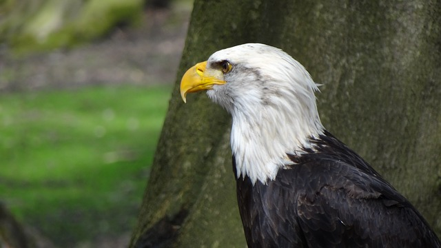 bald eagles, adler, coat of arms, bird, animal