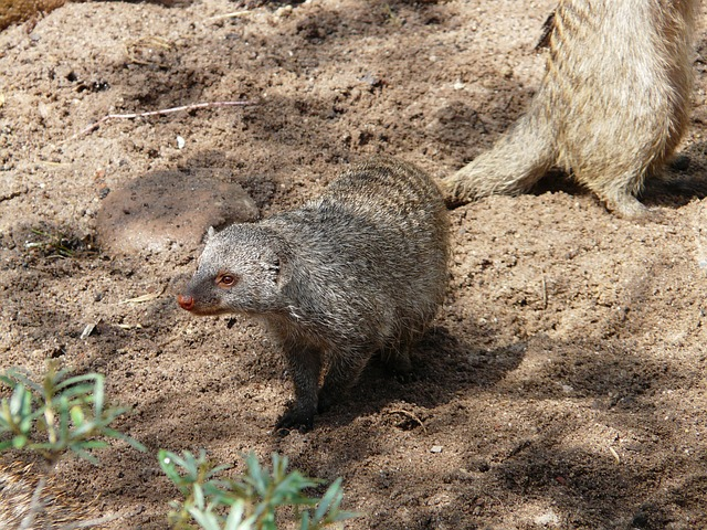 banded mongoose, mungos mungo, mammal, mongoose, animal