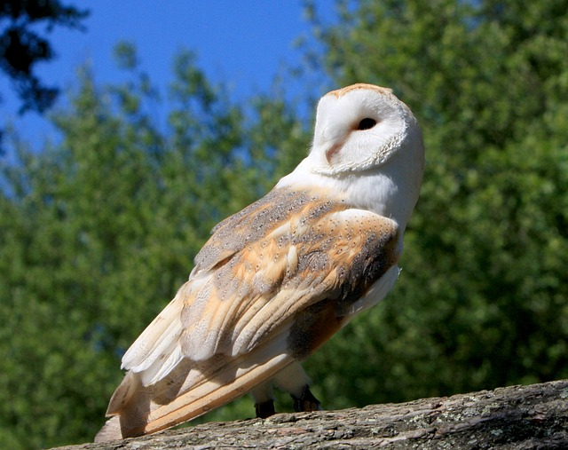 barn owl, bird, owl, animal, wild, wildlife, beautiful