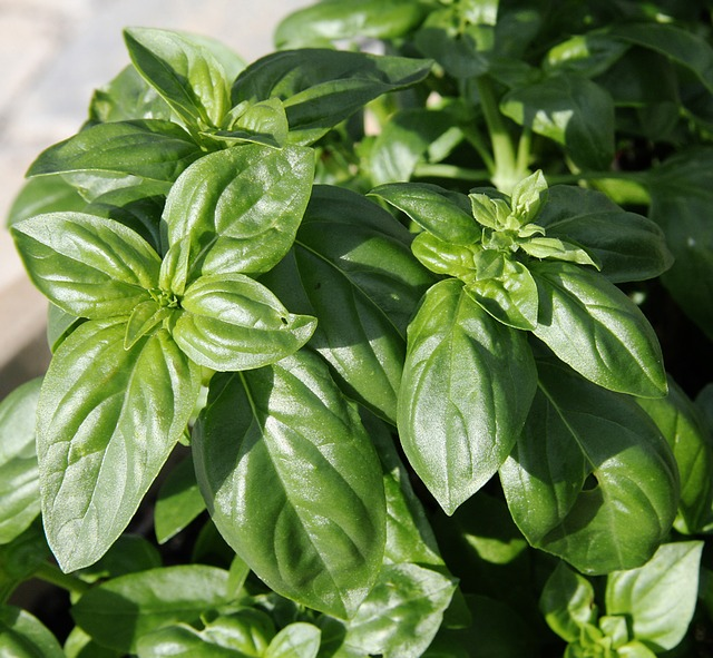 basil, plant, spice, herbs, season, journal, herb