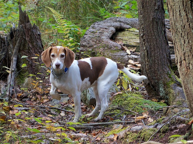 beagle, animals, tail, woods