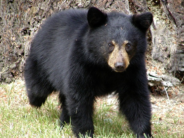 bear, animal, british columbia, canada, nature
