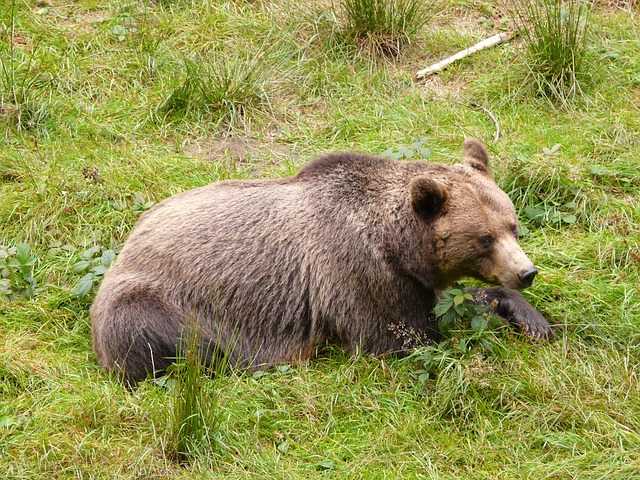 bear, brown bear, forest, eat, fluffy, food, nature