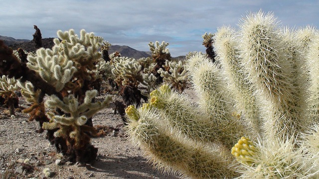 bear cactus, cactus, spiky, thorns, nevada, desert