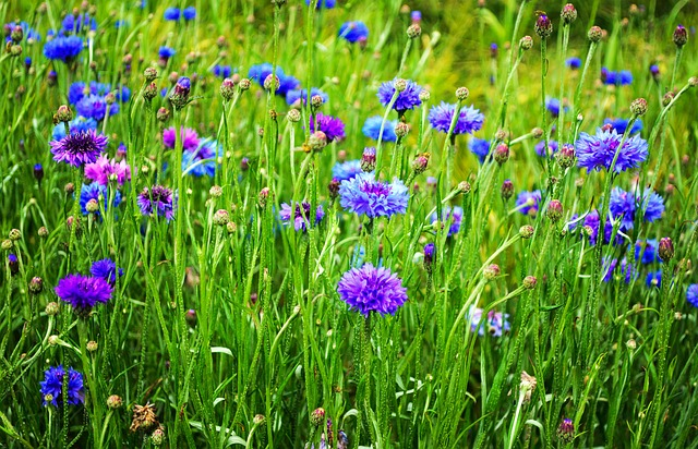 beauty, blossom, bluebottle, bud, cornflower