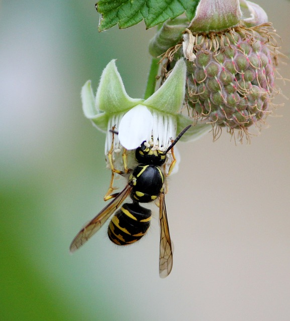 bee, bumblebee, wasp, flower, sting, spring, bumble