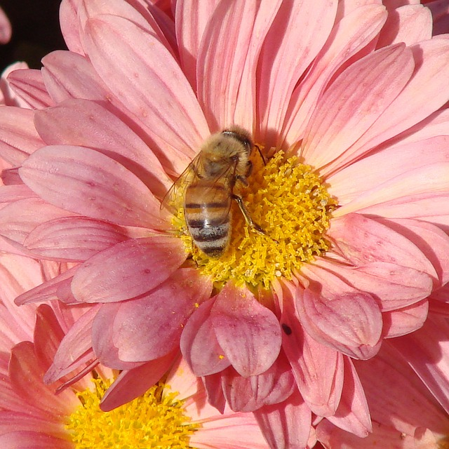 bee, pollinating, flower, daisy, pink, summer