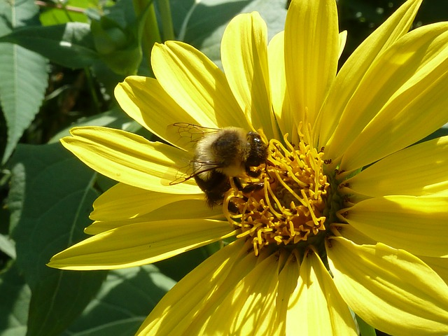 bee, pollinating, yellow flower, close-up, plant