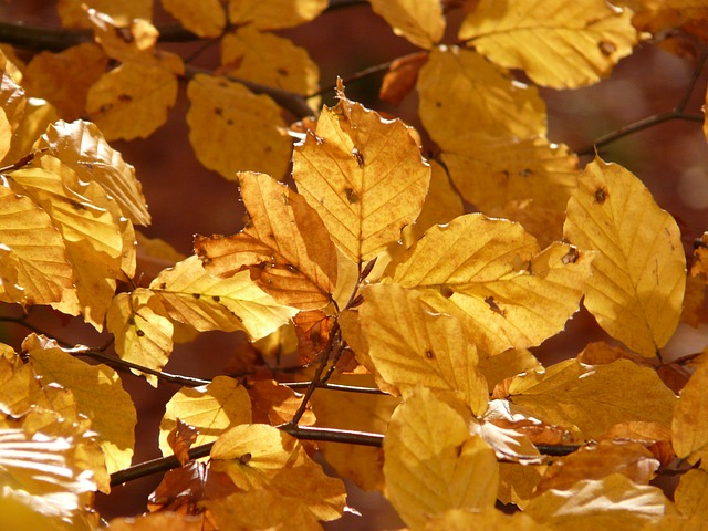 beech, beech leaves, autumn, leaves, colorful