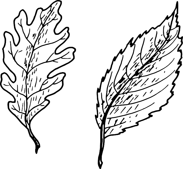 beech, beech tree, oak, leaves, biology, botany, plant