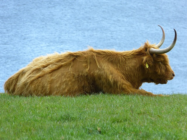 beef, scottish highland cow, highland cattle, cow