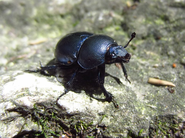 beetle, insect, black, close, large