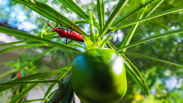 beetle, insect, red