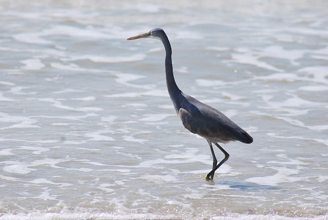 benaulim, goa, beach, bird, fishing