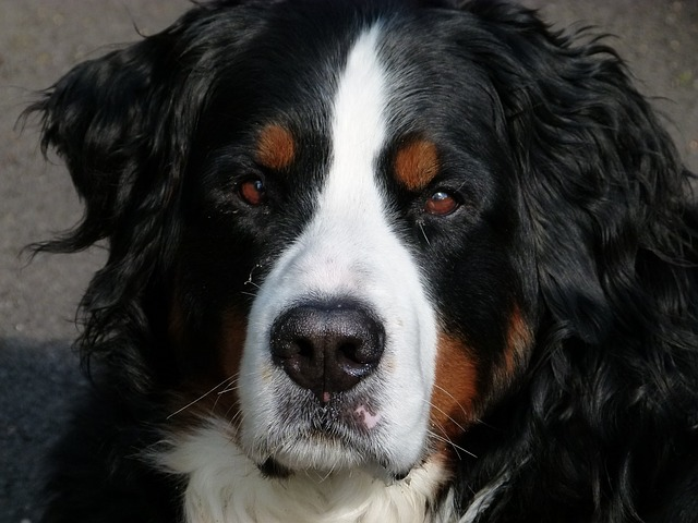 bernese mountain dog, canine, animal, dog