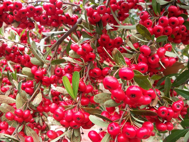 berries, red, plant, bush