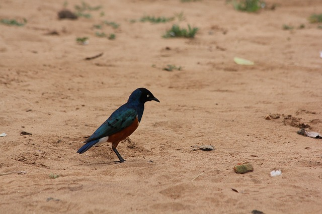 bird, africa, tanzania, tarangire, colorful