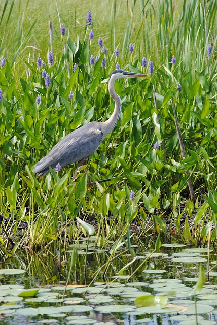 bird, animal, water, grey heron