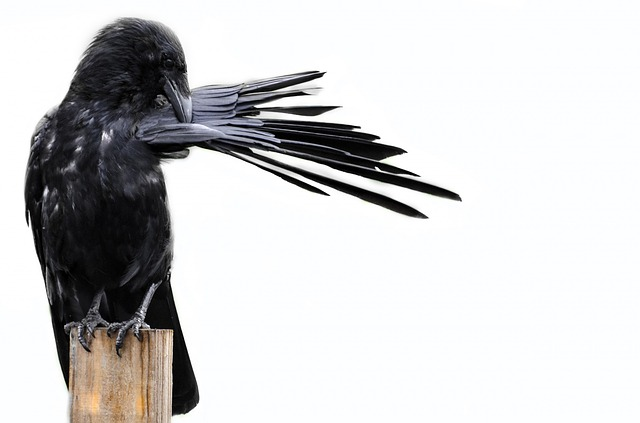 bird, crow, black, isolated, white, halloween, animals
