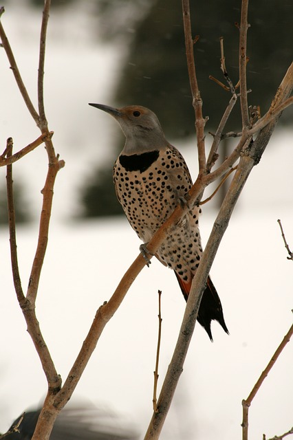 bird, northern flicker, woodpecker, flicker