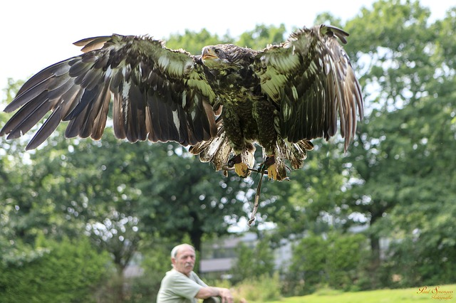 bird of prey, birds, nature, eagle, white tailed eagle