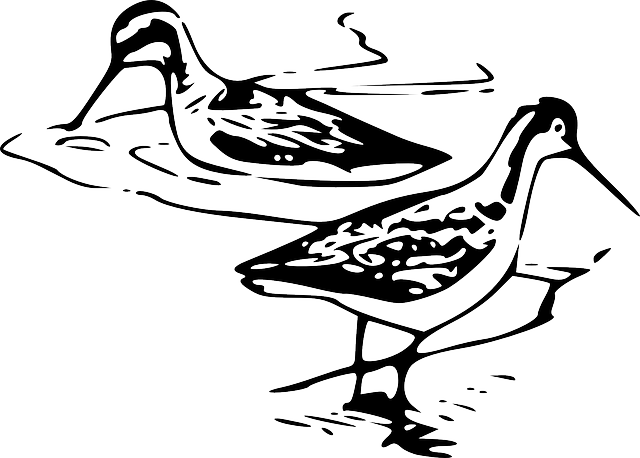 bird, phalarope, phalaropus, shorebird, line art