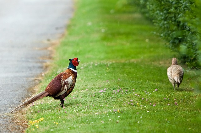 bird, pheasant, beautiful, animal, nature, close-up