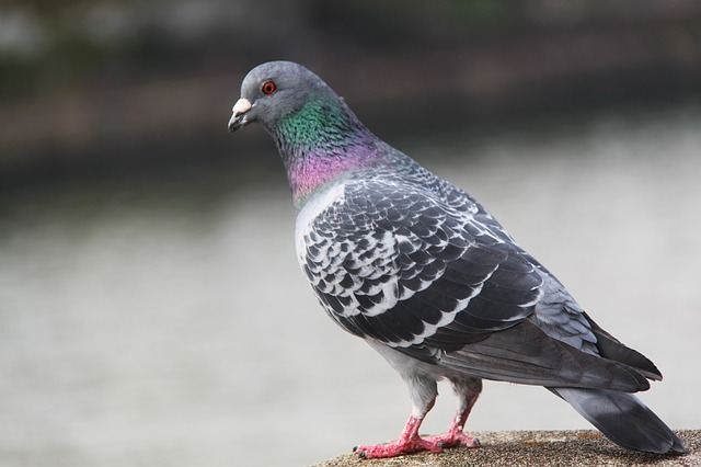 bird, pigeon, beautiful, colorful, osaka, japan