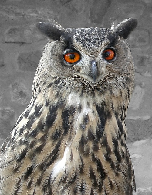 bird, prey, owl, feathers, beak, eyes, brown, black