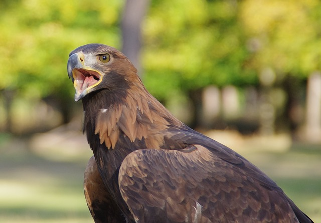 bird, raptor, adler, golden eagle, close, cry, bill