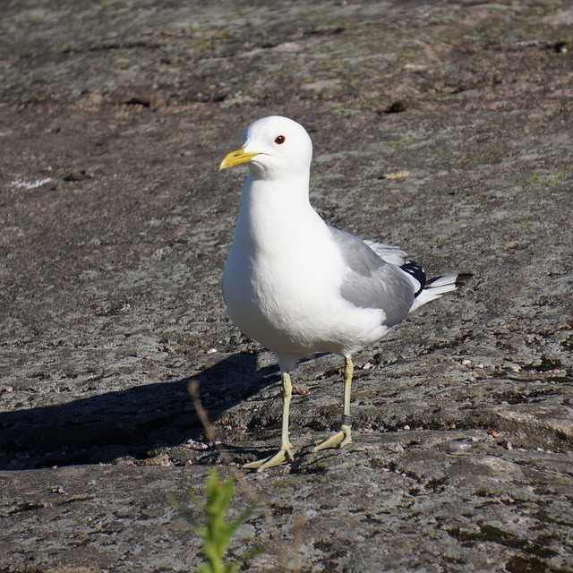 bird, ringed, the seagull, common gull