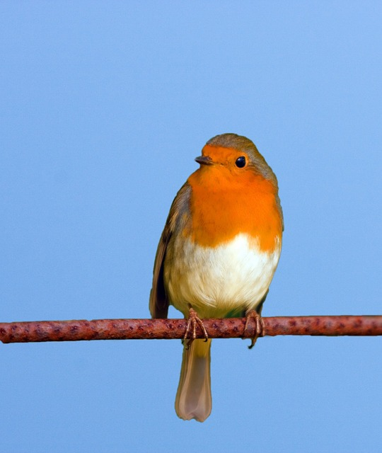bird, robin, cute, branch, close-up, blue, sky