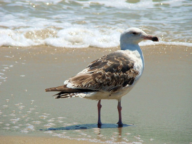 bird, sea, gull, wave, ocean, animal, water, sand